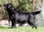 BISS BRONZE GR CH Belgairn's Mighty Quinn at Summit View Ranch, CGC